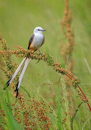 Maker:  Wayne Tabor<br /> Title:  Scissor-Tail Perched<br /> Category:  Wildlife<br /> Score:  14