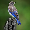 Maker:  Wayne Tabor<br /> Title:  Juvenile Bluebird<br /> Category:  Wildlife<br /> Score:  14