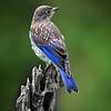 Maker:  Wayne Tabor<br /> Title:  Juvenile Bluebird<br /> Category:  Wildlife<br /> Score:  14