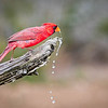 Maker:  Larry Phillips<br /> Title:  Cardinal Drinking<br /> Category:  Wildlife<br /> Score:  12.5