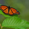 Maker:  Ronald Austin<br /> Title:  Victory Butterfly<br /> Category:  Macro/Close Up<br /> Score:  12.5