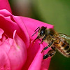 Maker:  Ronald Austin<br /> Title:  Honey Bees Nectar<br /> Category:  Macro/Close Up<br /> Score:  12.5