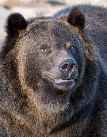 Maker:  Lee Davis<br /> Title:  West Yellowstone Bear<br /> Category:  Pictorial<br /> Score:  14.5