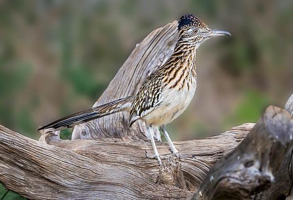 Maker:  Larry Phillips<br /> Title:  Texas Roadrunner<br /> Category:  Wildlife<br /> Score:  12.5