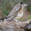 Maker:  Larry Phillips<br /> Title:  Texas Roadrunner<br /> Category:  Wildlife<br /> Score:  12.5