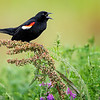 Maker:  Wayne Tabor<br /> Title:  Red-Winged Blackbird Male<br /> Category:  Wildlife<br /> Score:  13.5