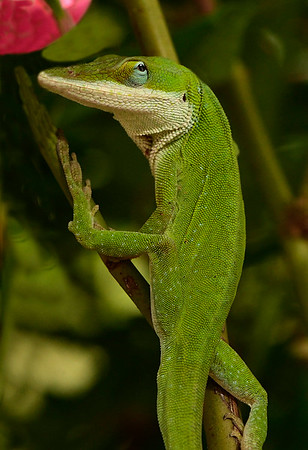 Maker:  Ronald Austin<br /> Title:  Anoles Among The Roses<br /> Category:  Macro/Close Up<br /> Score:  13