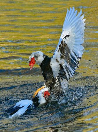Maker Ronald Austin<br /> Title:  Ugly Duck Wars<br /> Category:  Wildlife<br /> Score:  11.5
