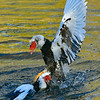 Maker Ronald Austin<br /> Title:  Ugly Duck Wars<br /> Category:  Wildlife<br /> Score:  11.5