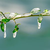 Maker:  Brent C. Reed<br /> Title:  Late Winter Freeze<br /> Category:  Macro/Close Up<br /> Score:  13