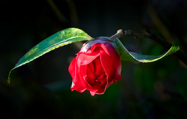 Maker:  Brent C. Reed<br /> Title:  Winter Camellia<br /> Category:  Macro/Close Up<br /> Score:  13
