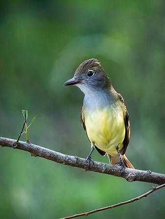 Maker:  Dwayne Anders<br /> Title:  Western Kingbird<br /> Category:  Wildlife<br /> Score:  13.5