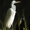 Maker:  Lee Davis<br /> Title:  Great White Stare<br /> Category:  Wildlife<br /> Score:  12.5