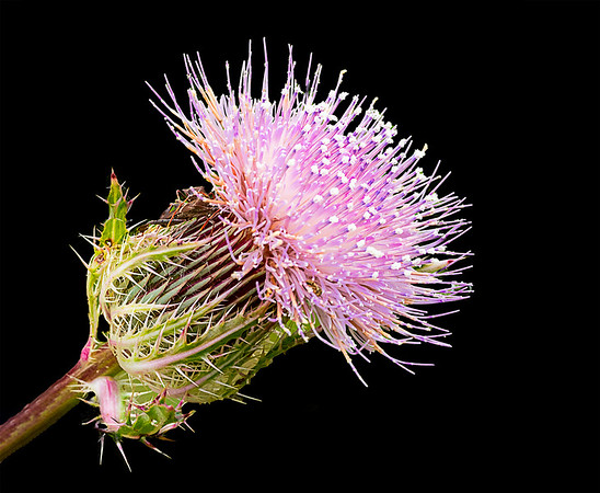 Maker:  Brent C. Reed<br /> Title:  Bethany Thistle<br /> Category:  Macro/Close Up<br /> Score:  13.5