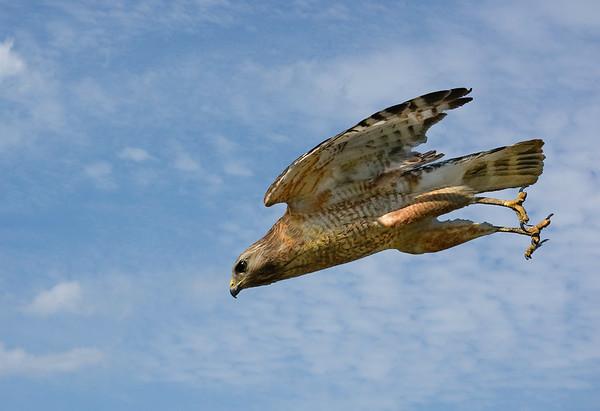 Maker:  Ronald Austin<br /> Title:  Diving for prey<br /> Category:  Wildlife<br /> Score:  14.5