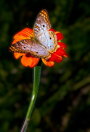 Maker:  Larry Phillips<br /> Title:  White Peacock Butterfly<br /> Category:  Pictorial<br /> Score:  13.5