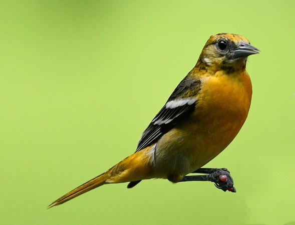 Maker:  Ronald Austin<br /> Title:  Female Baltimore Oriole<br /> Category:  Wildlife<br /> Score:  11.5