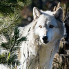 Maker:  Lee Davis<br /> Title:  Looking Wolf<br /> Category:  Pictorial<br /> Score:  12.5