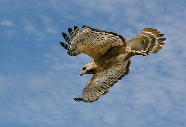 Maker:  Ronald Austin<br /> Title:  Soaring Red-shoulder Hawk<br /> Category:  Wildlife<br /> Score:  14
