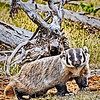 Maker:  Mike Smith<br /> Title:  Badger<br /> Category:  Wildlife<br /> Score:  11