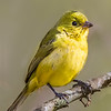 Maker: Larry Phillips<br /> Title:  Female Painted Bunting<br /> Category:  Wildlife<br /> Score:  12