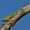 Maker:  Ronald Austin<br /> Title:  Anoles on the down slope<br /> Category:  Wildlife<br /> Score:  12