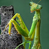 Maker:  Wayne Tabor<br /> Title:  Mantis<br /> Category:  Macro/Close Up<br /> Score:  13