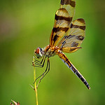 Maker:  Wayne Tabor Title:  Halloween Pennant Category:  Macro/Close Up Score:  13
