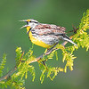 Maker:  Mike Smith<br /> Title:  Meadow Lark<br /> Category:  Wildlife<br /> Score:  11