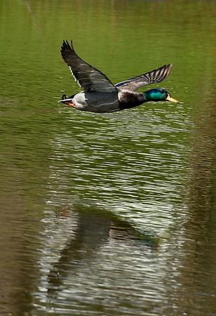 Maker:  Ronald Austin<br /> Title:  On the Wing<br /> Category:  Wildlife<br /> Score:  11.5
