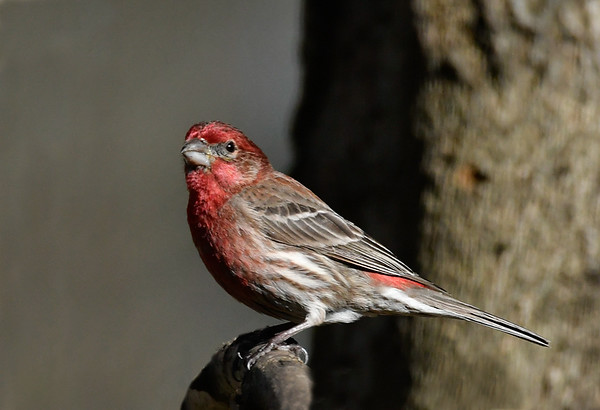 Maker:  Ronald Austin<br /> Title:  Purple Finch<br /> Category:  Wildlife<br /> Score:  12