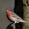 Maker:  Ronald Austin<br /> Title:  Purple Finch<br /> Category:  Wildlife<br /> Score:  12