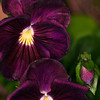 Maker:  Wayne Tabor<br /> Title:  Purple Pansies<br /> Category:  Pictorial<br /> Score:  11