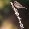 Maker:  Ricky Scroggins<br /> Title:  Female House Finch<br /> Category:  Wildlife<br /> Score:  12
