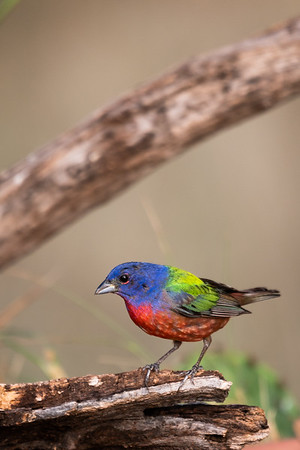 Maker:  Ricky Scroggins<br /> Title:  Painted Bunting<br /> Category:  Wildlife<br /> Score:  14