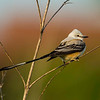 Maker:  Dwayne Anders<br /> Title:  Young Scissor-tailed Flycatcher<br /> Category:  Wildlife<br /> Score:  14