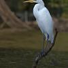 Maker:  Joel Coker<br /> Title:  Great Egret at Lake Caroline<br /> Category:  Wildlife<br /> Score:  12.5