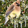 Maker:  Dwayne Anders<br /> Title:  Cedar Wax Wing<br /> Category:  Wildlife<br /> Score:  14.5