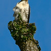 Maker:  Ronald Austin<br /> Title:  Red-tailed Hawk on a Windy Day<br /> Category:  Wildlife<br /> Score:  12