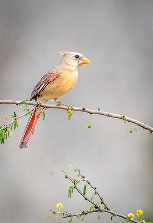 Maker:  Larry Phillips<br /> Title:  Female Cardinal<br /> Category:  Wildlife<br /> Score:  13.5