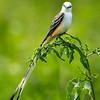Maker:  Dwayne Anders<br /> Title:  Adult Scissor-tailed Flycatcher<br /> Category:  Wildlife<br /> Score:  13.5