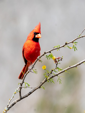 Maker:  Larry Phillips<br /> Title:  Male Cardinal<br /> Category:  Wildlife<br /> Score:  14.5