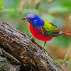 Maker:  Mike Smith<br /> Title:  Painted Bunting<br /> Category:  Wildlife<br /> Score:  14