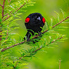 Maker:  Mike Smith<br /> Title:  Red Wing Blackbird<br /> Category:  Wildlife<br /> Score:  13