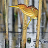 Maker:  Mike Smith<br /> Title:  Least Bittern<br /> Category:  Wildlife<br /> Score:  12