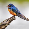 Maker:  Mike Smith<br /> Title:  Barn Swallow<br /> Category:  Wildlife<br /> Score:  15