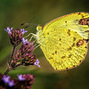 Maker:  Wayne Tabor<br /> Title:  Cloudless Sulphur Butterfly<br /> Category:  Macro/Close Up<br /> Score:  12
