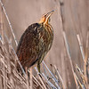 Maker:  Wayne Tabor<br /> Title:  American Bittern<br /> Category:  Wildlife<br /> Score:  13