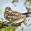 Maker:  Mike Smith<br /> Title: Whippoorwill <br /> Category: Wildlife<br /> Score:  11.5