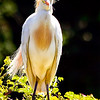 Maker: Brent Reed <br /> Title: Cattle Egret (bad hair day)<br /> Category: Wildlife<br /> Score:  12.5